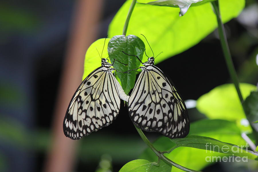 Black And White Butterflies Photograph - Black and White Butterflies by Scenesational Photos