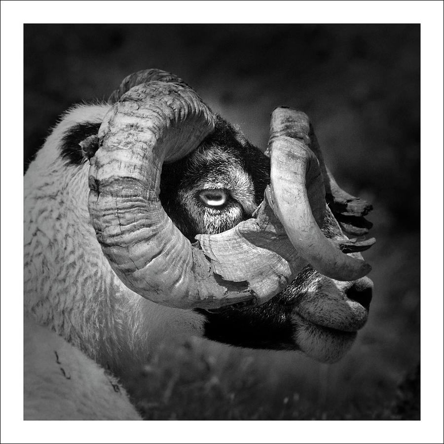 Square Photograph - Black And White Image Of Ram by Colin Campbell
