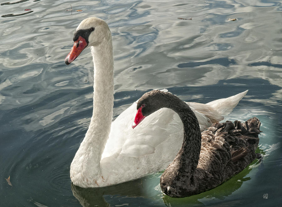 Swans Photograph - Black And White In Color by Barbara Middleton