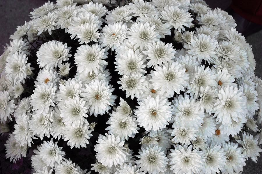 Black And White Mums Photograph By Leeann Mclanegoetz
