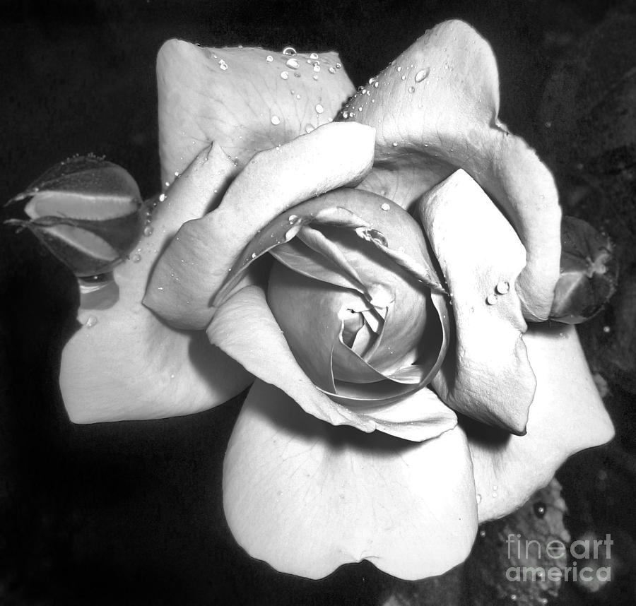 Rose Photograph - Black And White Rose by Tina Ann Byers