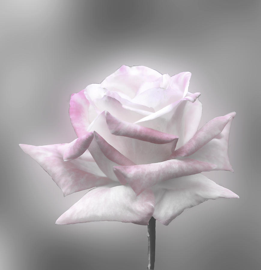 black and white rose with hint of color photograph by