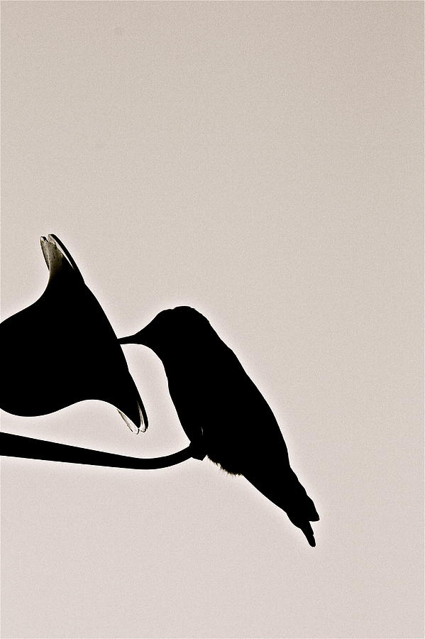 Birds Photograph - Black And White Silhouette by Diana Hatcher