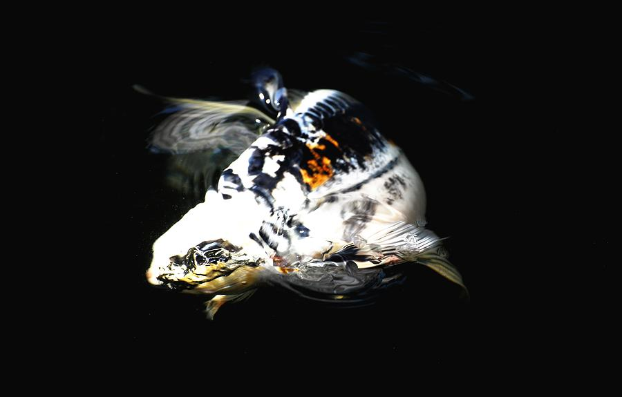 Koi Photograph - Black And White Streak by Don Mann
