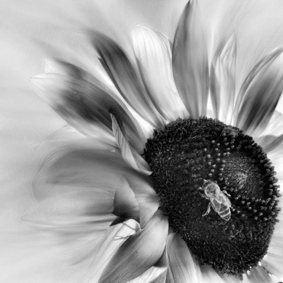 Black And White Sunflower Photograph By Sally Bauer