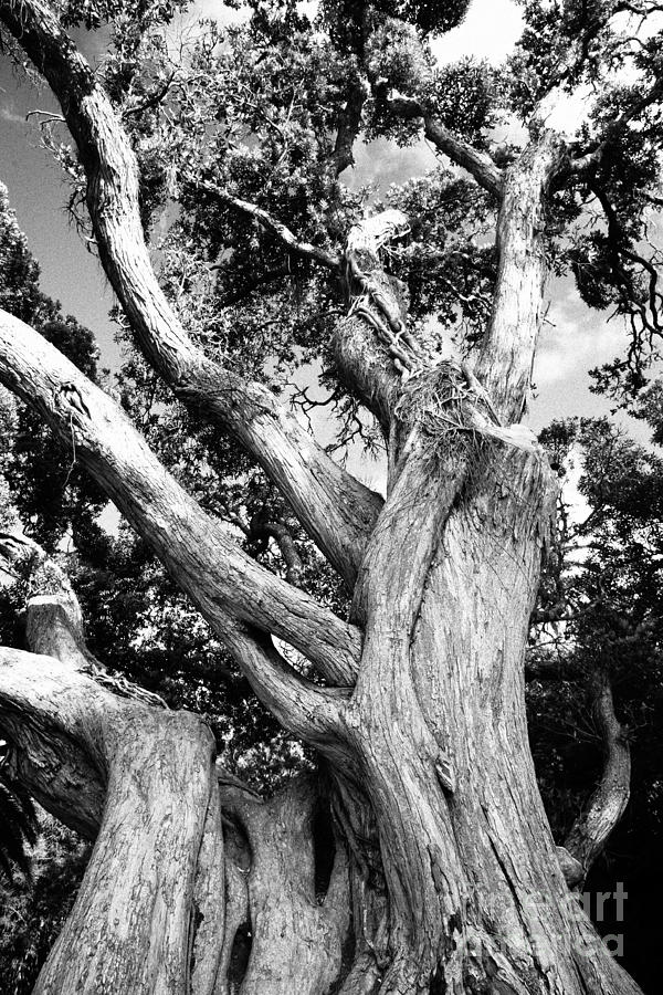 Cool Tree Black And White: Black And White Tree Photograph By Gaspar Avila