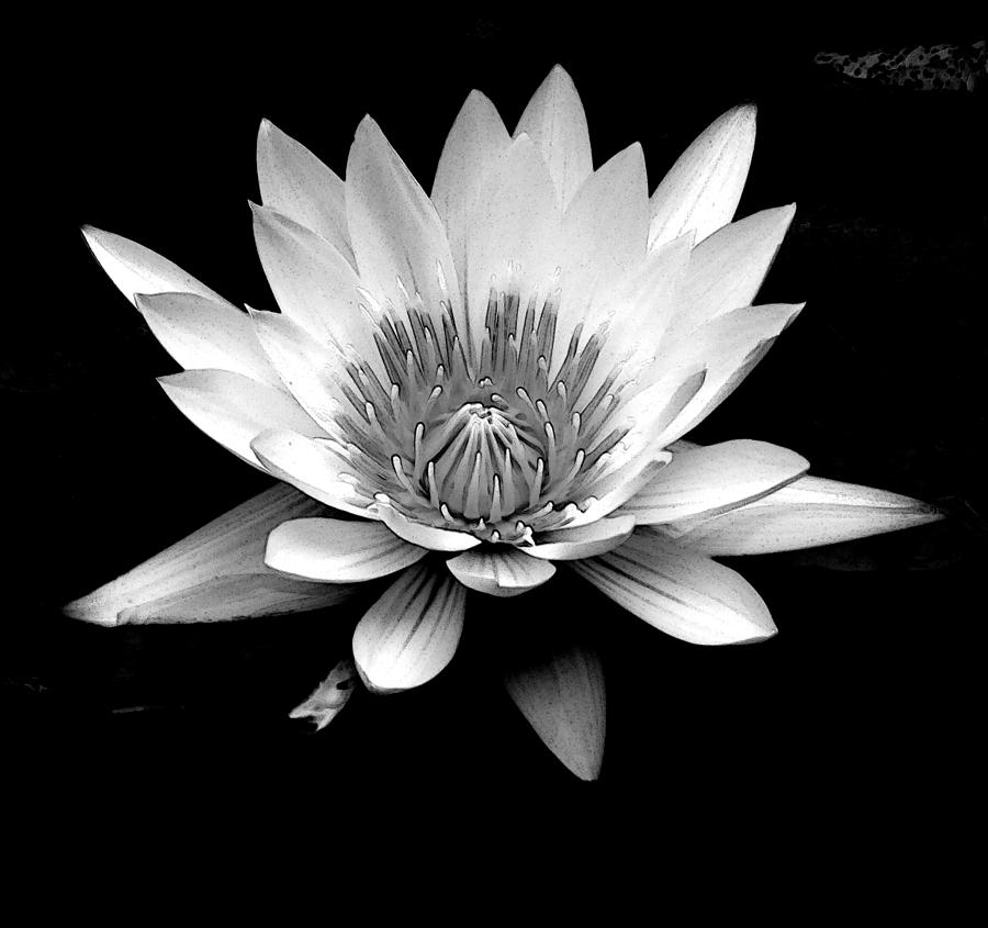 Water Lily Stencil Black And White: Black And White Water Lily Photograph By Sue Mayor
