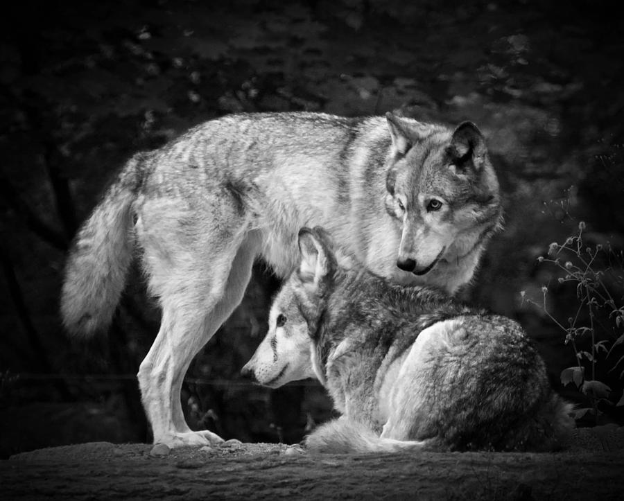 Black and white photograph black and white wolves by steve mckinzie