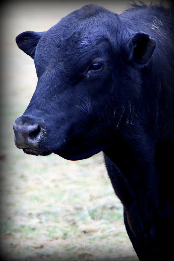 Black Angus Bull - Side Profile Photograph by Tam Graff