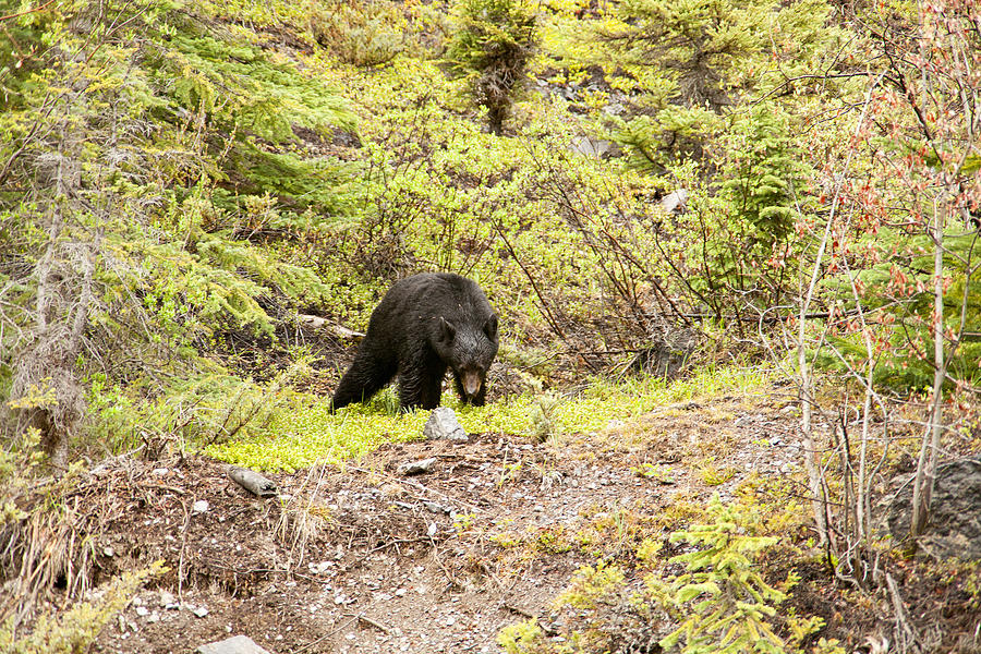 Canadian Rockies Photograph - Black Bear 1899 by Larry Roberson