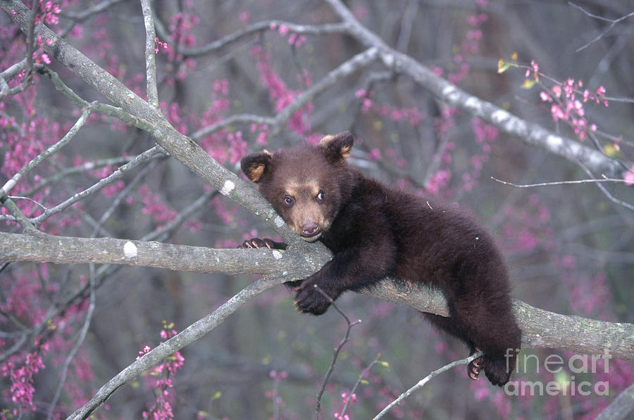 Black Bear Cub Photograph - Black Bear Cub On Branch by Alan and Sandy Carey and Photo Researchers
