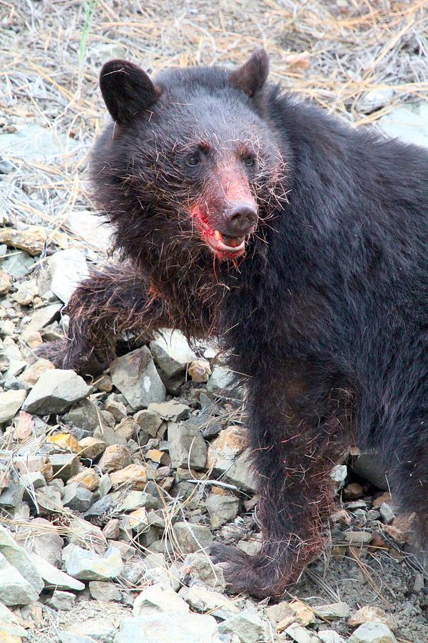 Black Bear - Bloodied Lunch - British Columbia Photograph