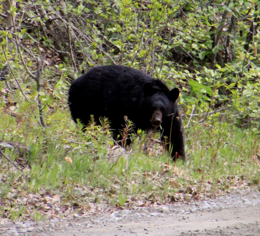Wildlife Photograph - Black Bear by Mark Caldwell