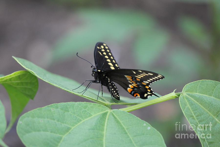 Butterfly Photograph - Black Beauty by Scenesational Photos