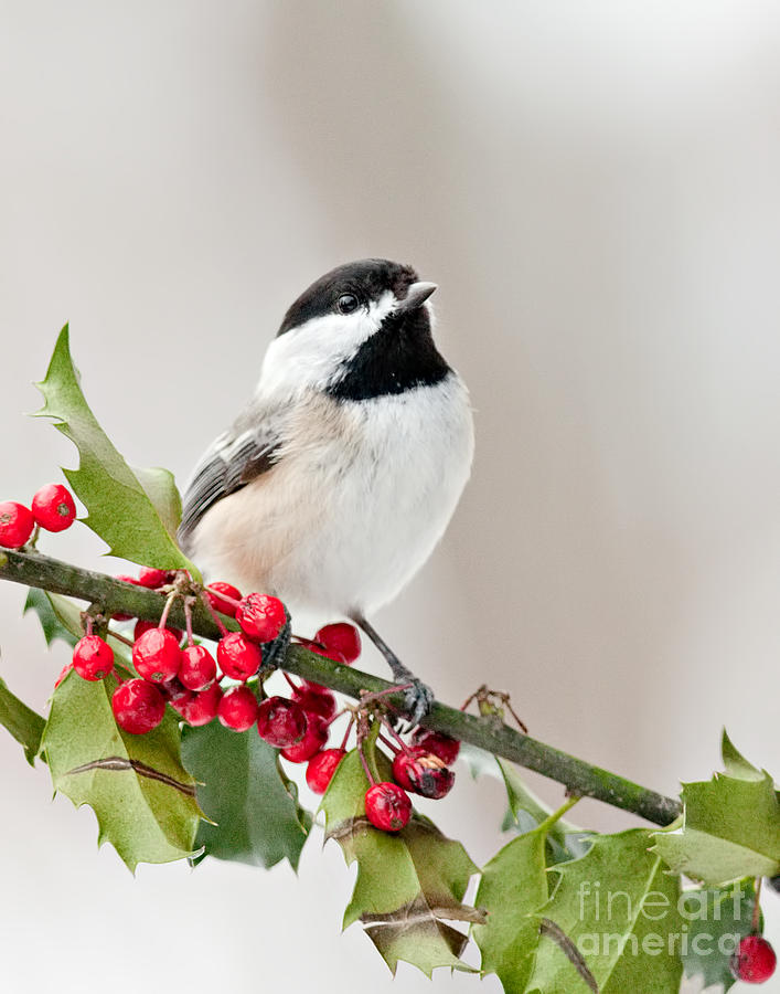 Black Capped Chickadee On Holly Branch Photograph By Jean