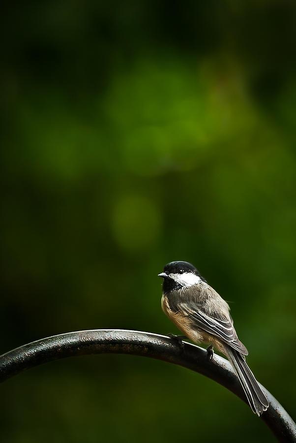 Black-capped Chickadee Photograph