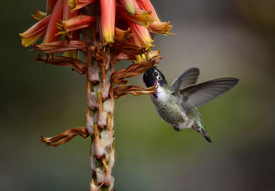 Black Chinned Hummingbird Photograph - Black Chinned Hummingbird  by Saija  Lehtonen