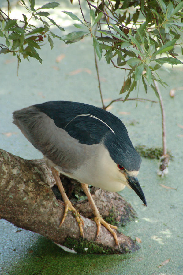 Audubon Swamp Photograph - Black Crowned Night Heron by Peg Toliver