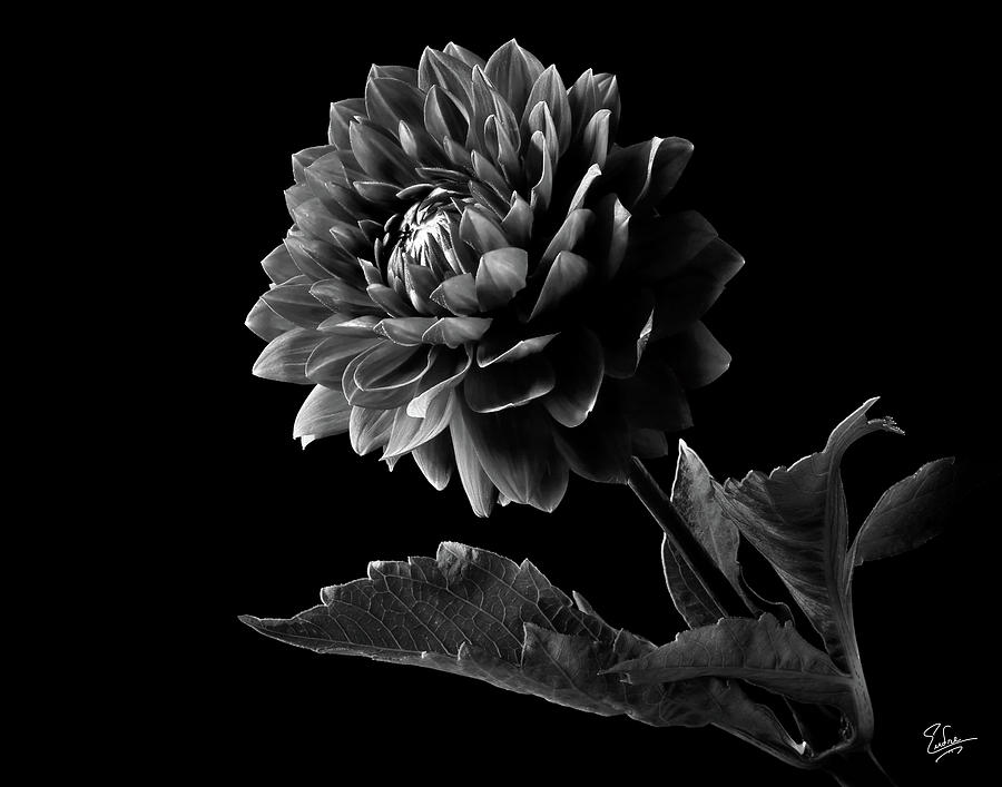 Flower photograph black dahlia in black and white by endre balogh