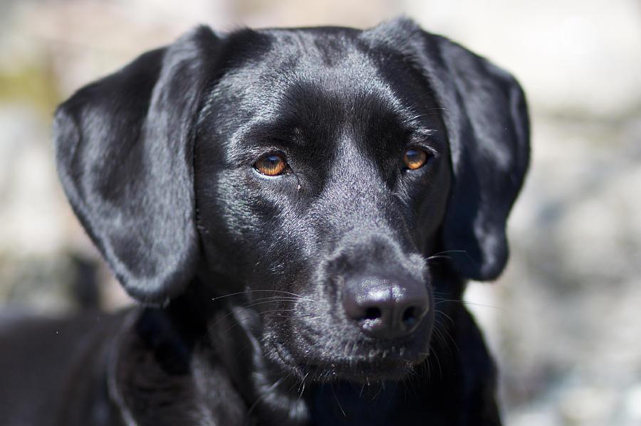 Horizontal Photograph - Black Dog by Christina Reichl Photography