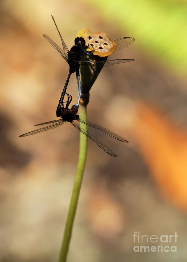 Dragonfly Photograph - Black Dragonfly Love by Sabrina L Ryan