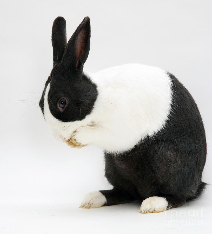 Rabbit black white paws picture — photo 2
