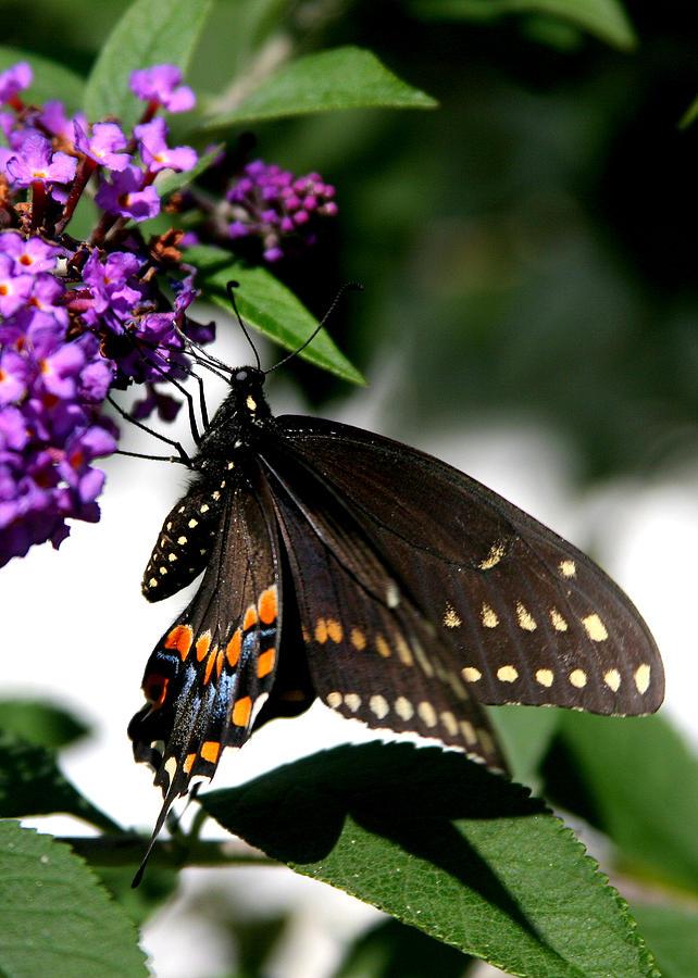 Butterflies Photograph - Black Eastern Swallowtail by Paula Tohline Calhoun