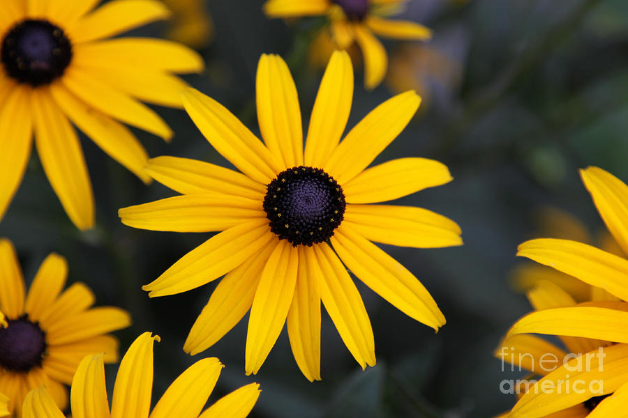 Black-eyed Susan Photograph - Black-eyed Susan by Chris Hill