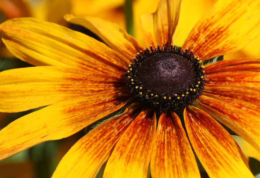 Flowers Photograph - Black Eyed Susan Close Up by Danna Lynn Cruzan