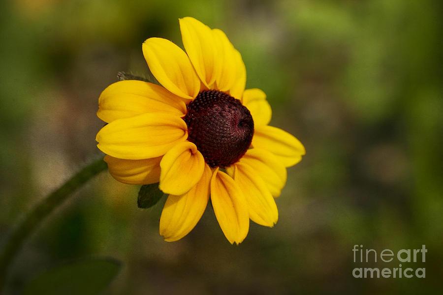 Flower Photograph - Black Eyed Susan by Teresa Zieba