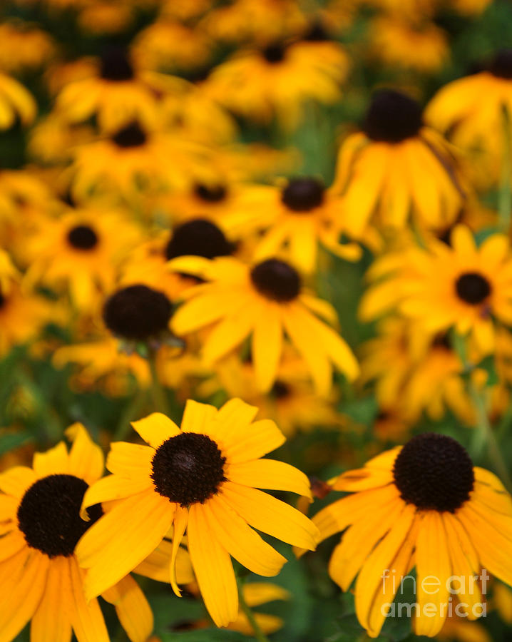 Yellow Photograph - Black Eyed Susans by Catherine Jarret