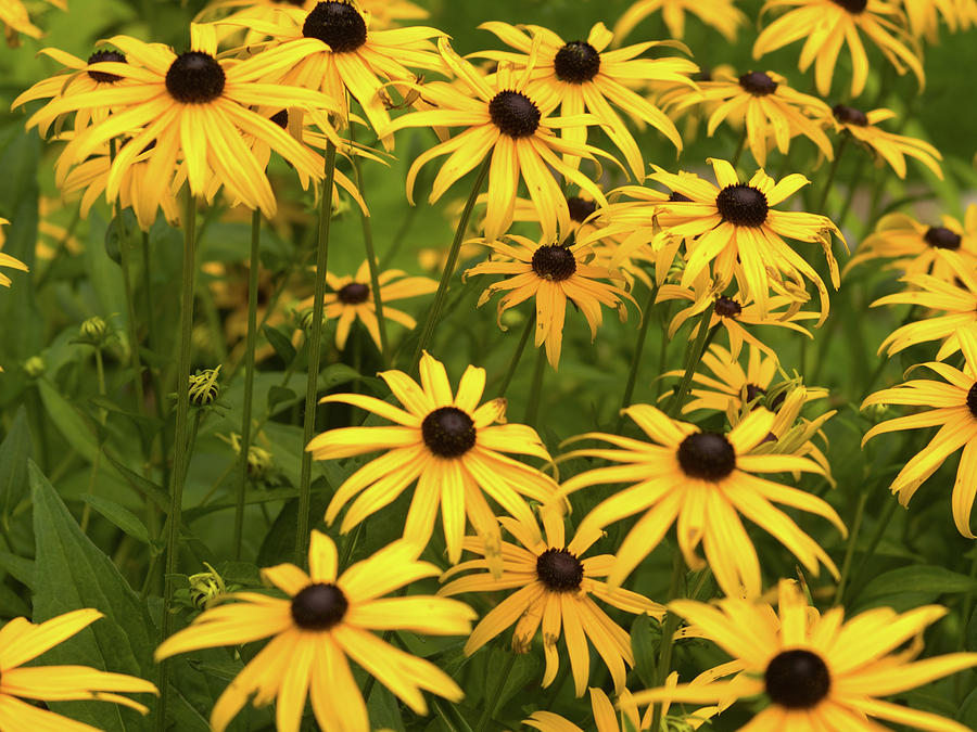 Black-eyed Susans Photograph - Black-eyed Susans by Stanley French