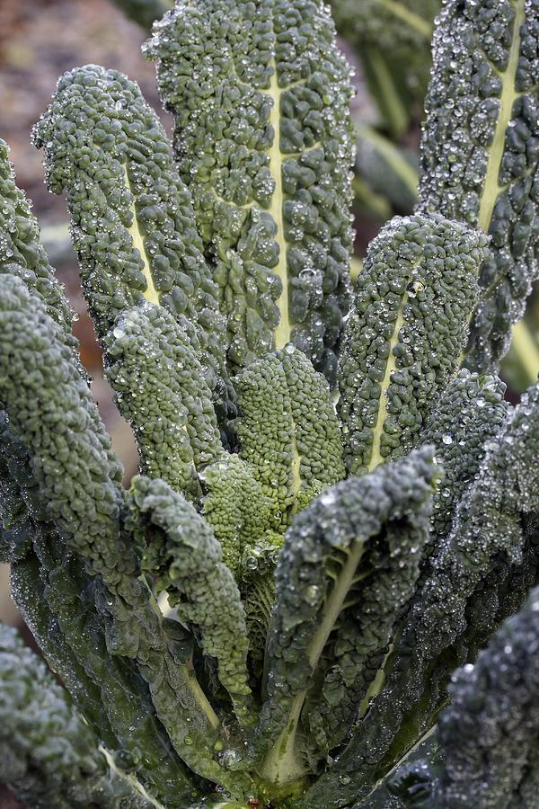 Black Kale Photograph - Black Kale (brassica nero De Toscana) by Maxine Adcock