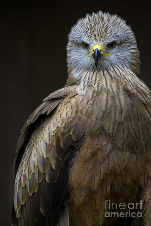 Heiko Photograph - Black Kite 2 by Heiko Koehrer-Wagner