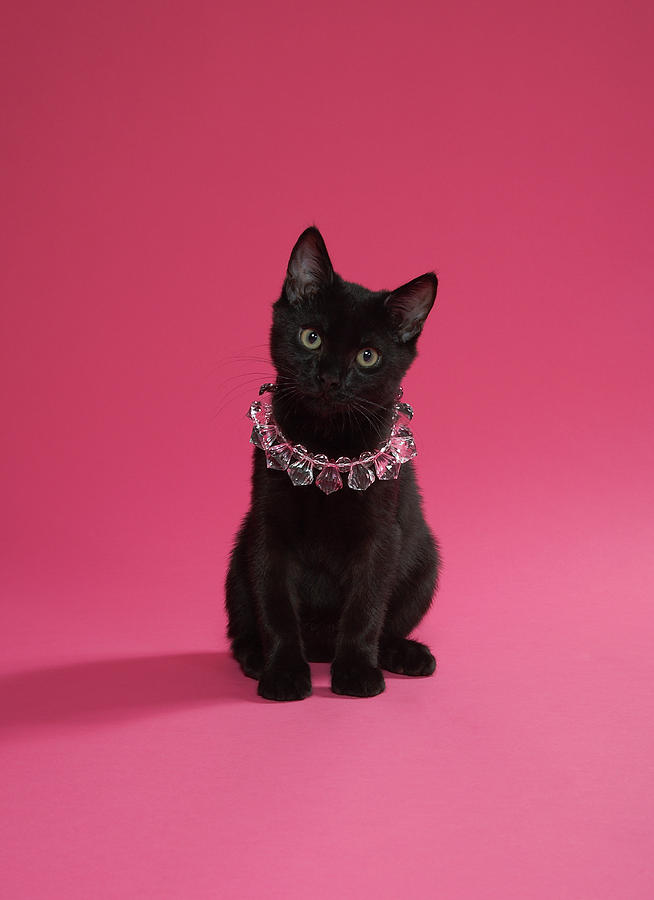 Vertical Photograph - Black Kitten Wearing Jewelled Necklace, Studio Shot by Peety Cooper