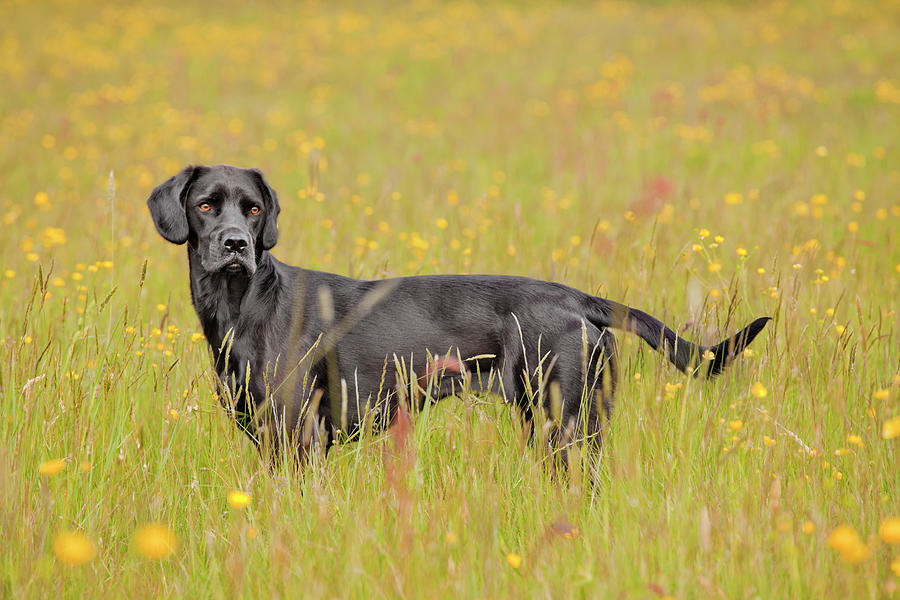 Black Labrador Dog Standing In A Buttercup Meadow Photograph by Juliet White