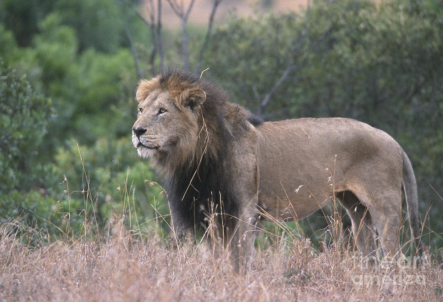 Lion Photograph - Black Maned  Lion by Sandra Bronstein