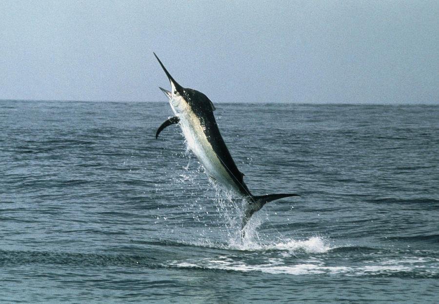 Black Marlin Photograph - Black Marlin by Georgette Douwma