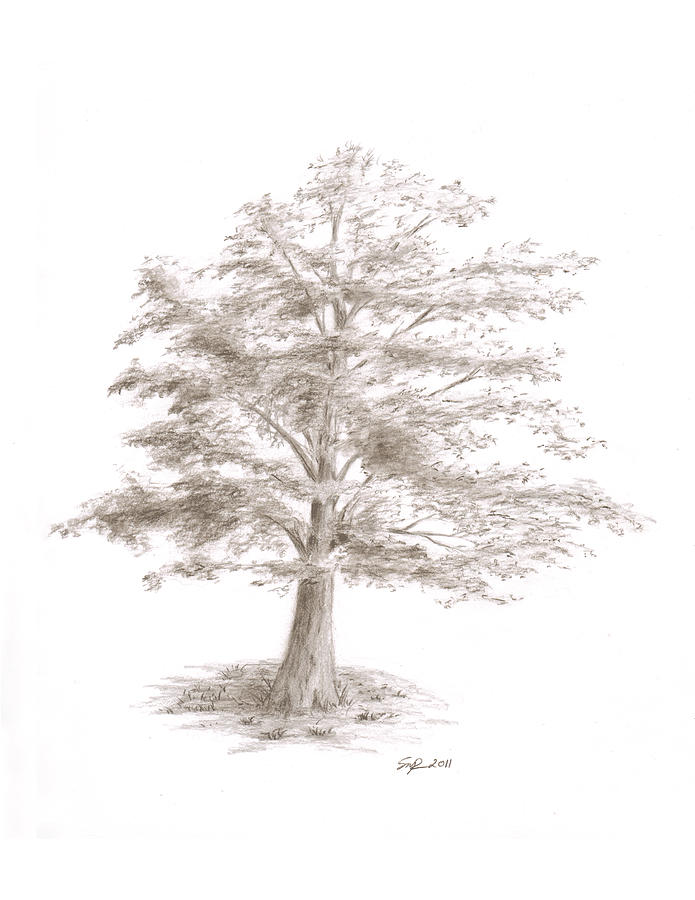 Sketch Drawing - Black Oak by Steven Powers SMP