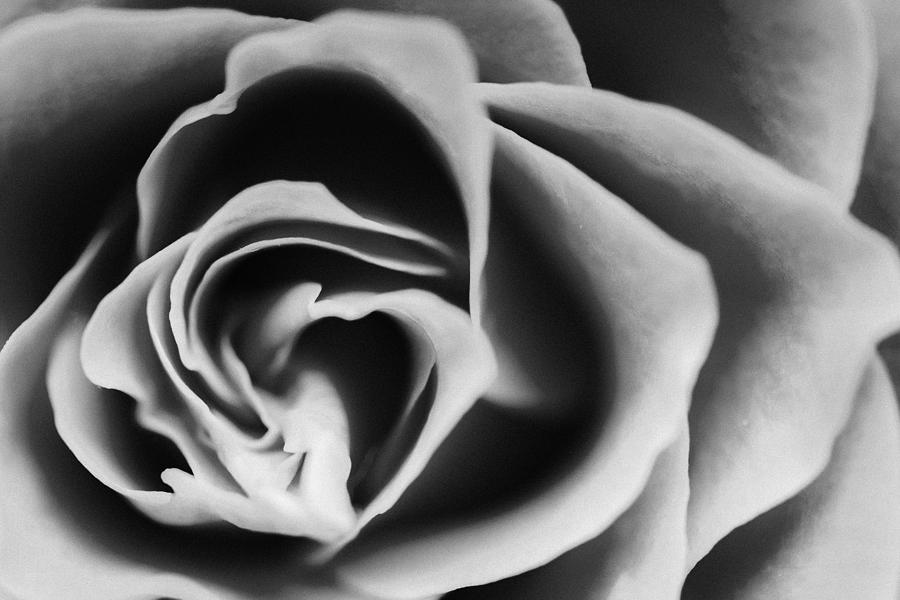 Macro Photograph - Black Rose by Daniel Kulinski