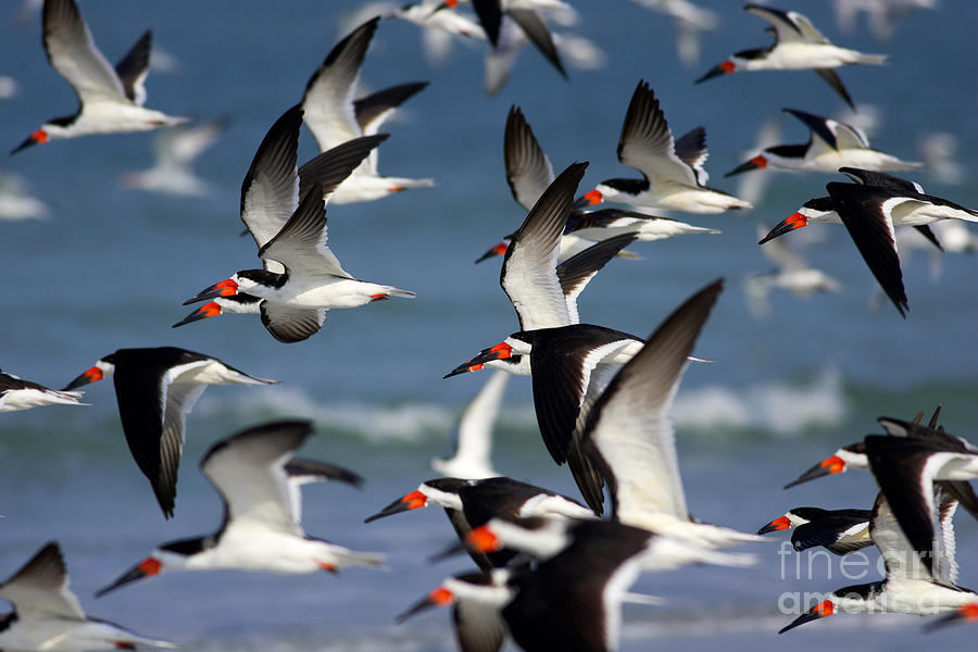 America Photograph - Black Skimmers Flock by Clarence Holmes
