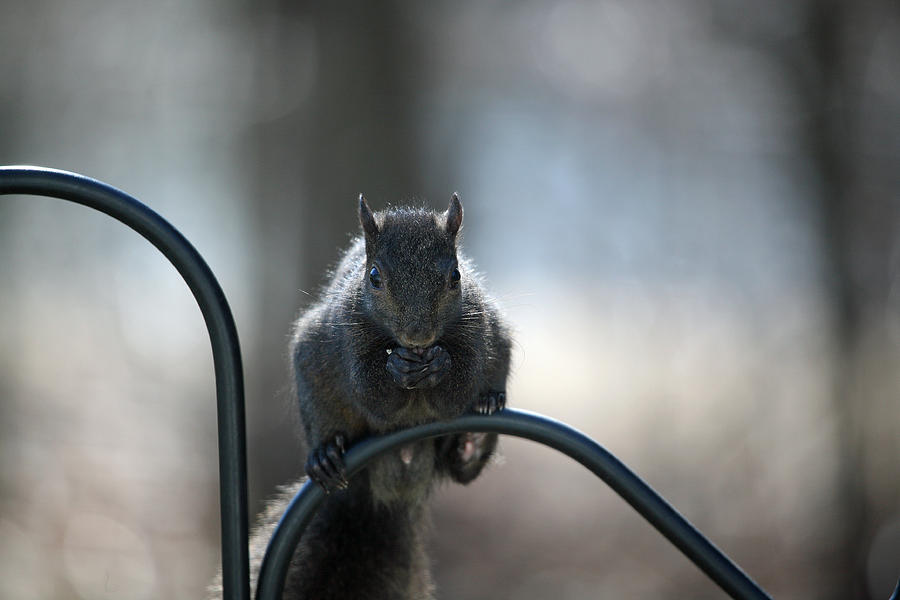 Animals Photograph - Black Squirrel  by Karol Livote