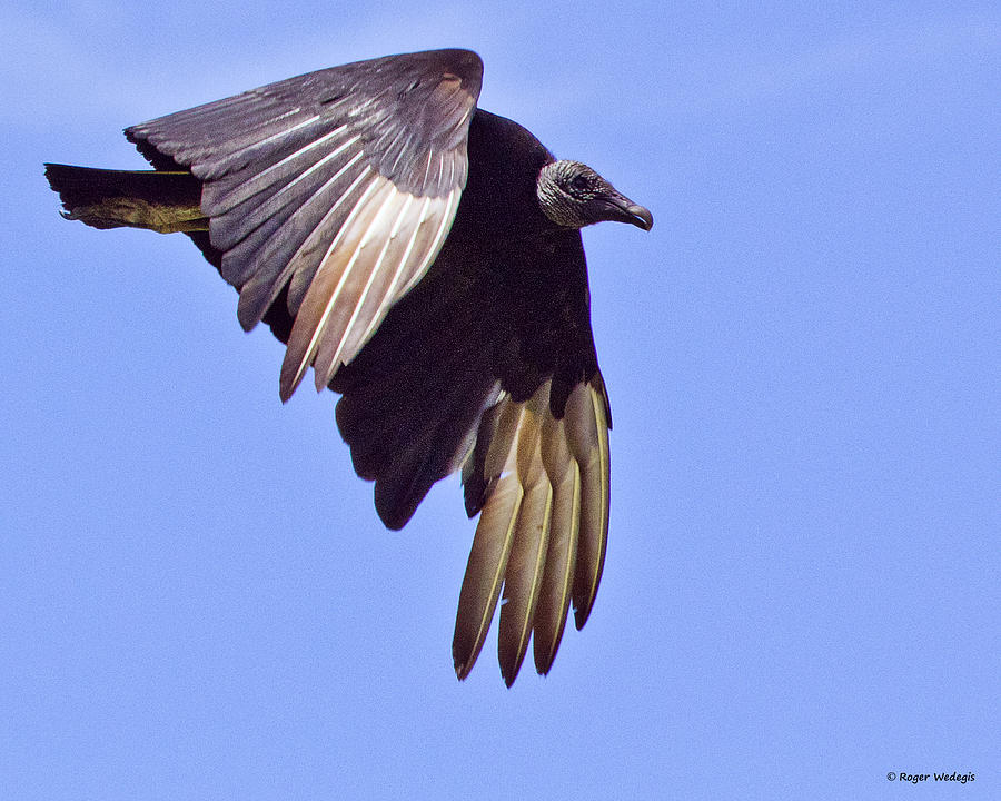 Vulture Photograph - Black Vulture by Roger Wedegis