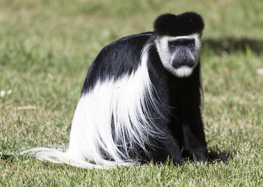 Black White Colobus Monkey Photograph by Robert Selin