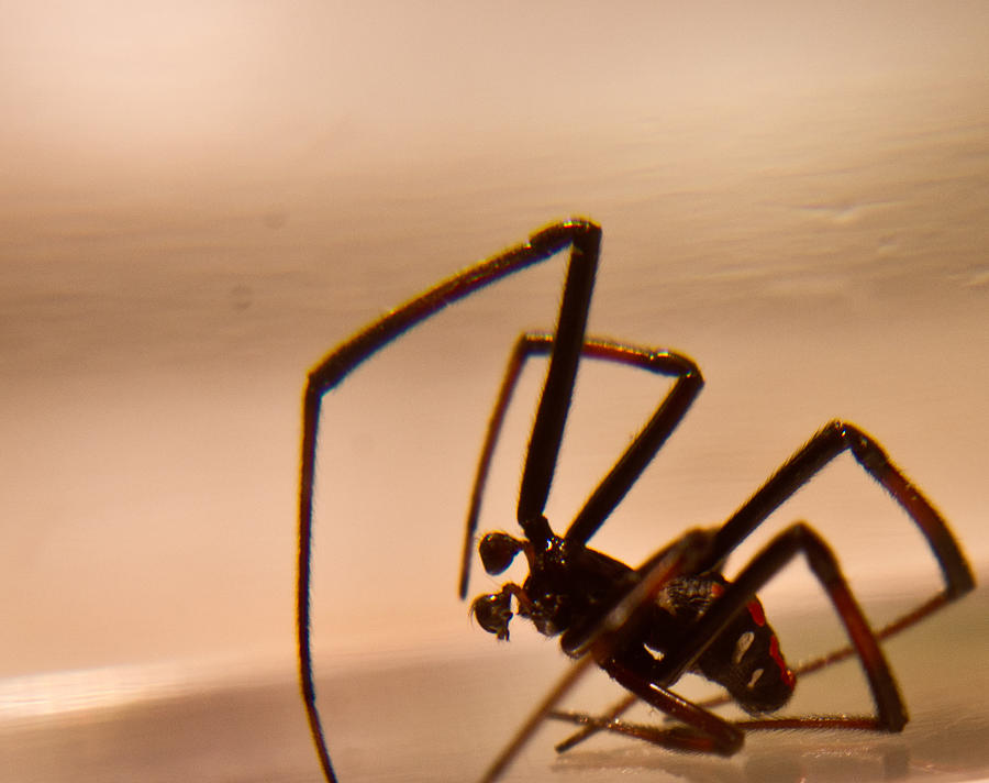 Latrodectus Photograph - Black Widow Male by Douglas Barnett
