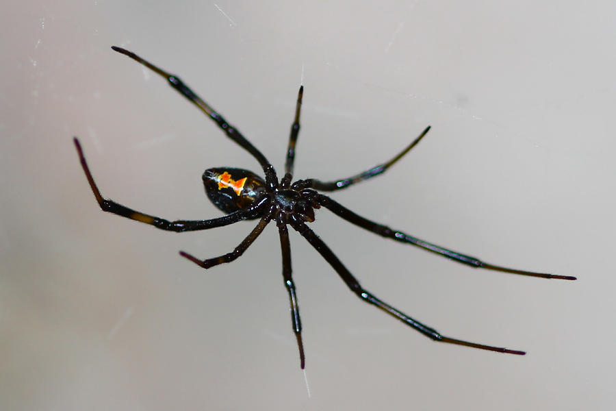 Spider Prints Photograph - Black Widow by Paul Marto