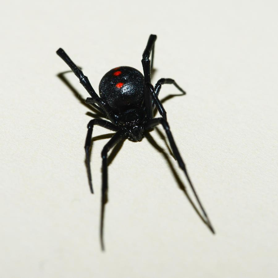 Black Widow   Photograph - Black Widow Polka Dots by David Waldo