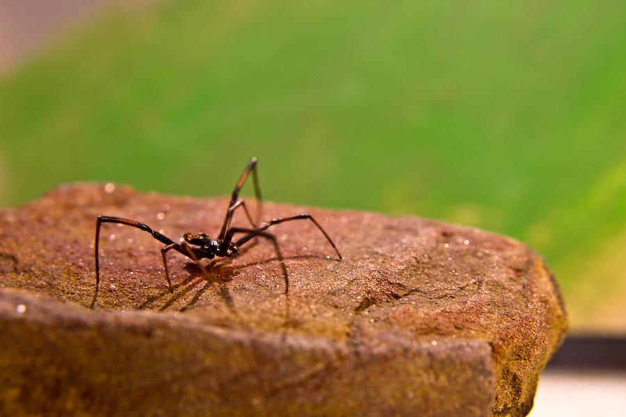 Black Photograph - Black Widow Spider Male by Douglas Barnett
