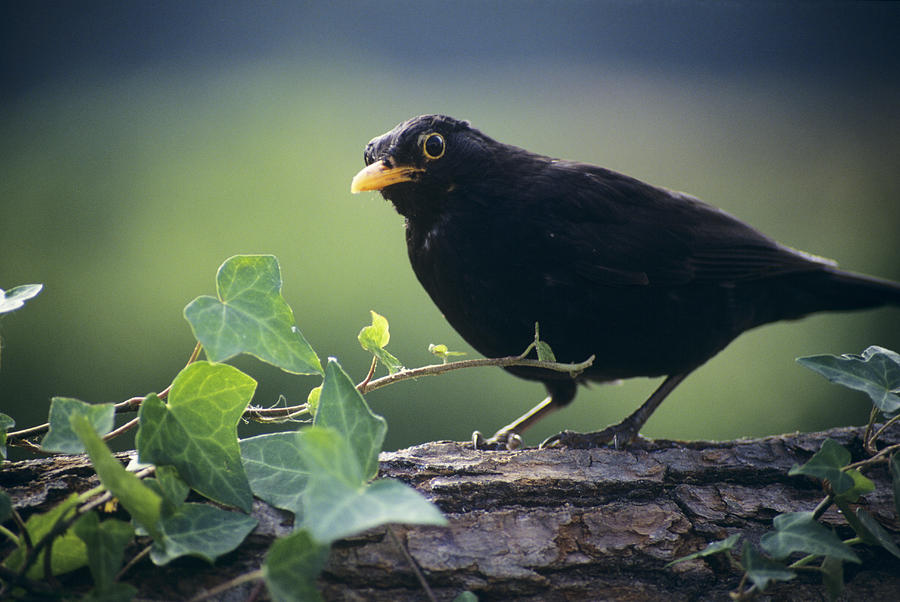 Turdus Merula Photograph - Blackbird by David Aubrey