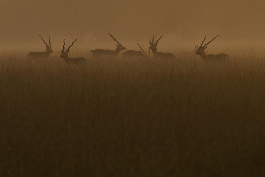 Blackbuck Photograph - Blackbucks At Sunrise by Pramod Bansode
